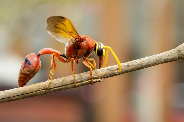 Imagem da vespa oleiro delta sp, eumeninae em galhos secos. inseto animal