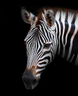 Imagem da zebra