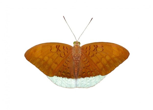 Imagem das borboletas comuns masculinas do conde (tanaecia julii odilina) isoladas no fundo branco
