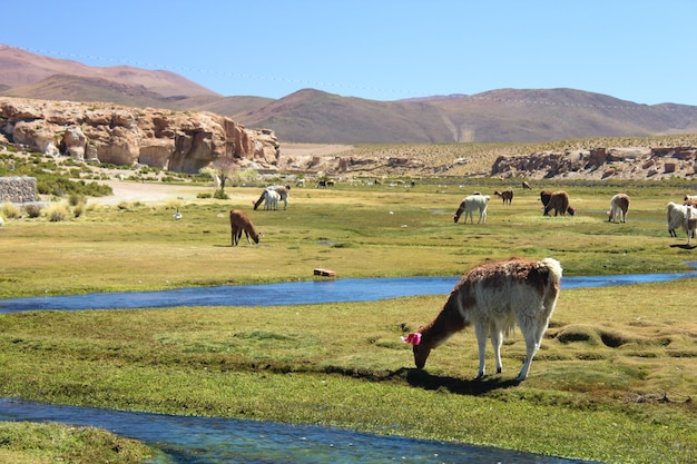 Imagem de alpacas no campo sob a luz do sol