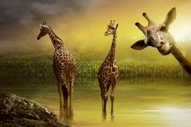 Imagem de beber girafa