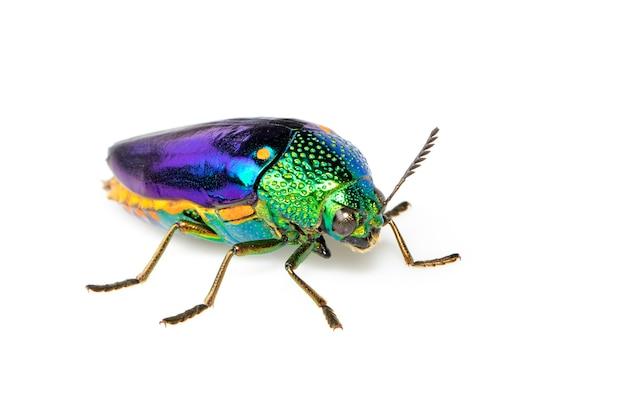 Imagem de besouro metálico de pernas verdes ou besouro jewel ou besouro metálico para madeira em branco