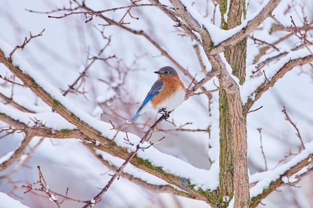 Imagem de bluebird descansando em um galho de árvore coberto de neve