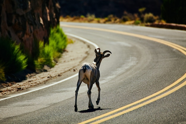 Imagem de cabra caminhando por uma estrada curva no deserto
