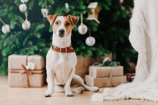 Imagem de cão de raça senta-se no chão perto de abeto decorado e presentes de natal, tem clima festivo, estar em casa