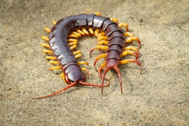 Imagem de centopéias ou chilopoda no chão. animal. animais venenosos.