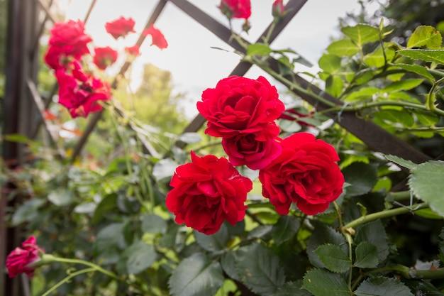 Imagem de close de três lindas rosas vermelhas crescendo em uma cerca decorativa no parque