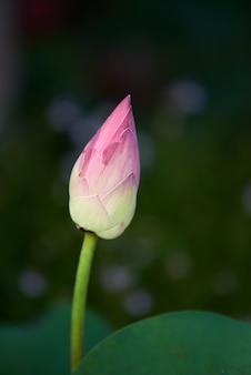 Imagem de close-up do botão de nenúfar