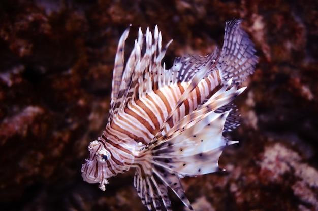 Imagem de close-up do peixe-leão vermelho no oceano