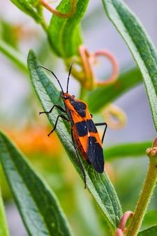 Imagem de close-up vertical de percevejo de semente de serralha laranja e preta