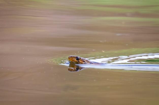 Imagem de cobras estão nadando no rio. réptil. animais.