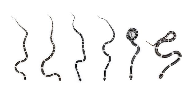 Imagem de conjunto de pequena cobra (lycodon laoensis), réptil, animais