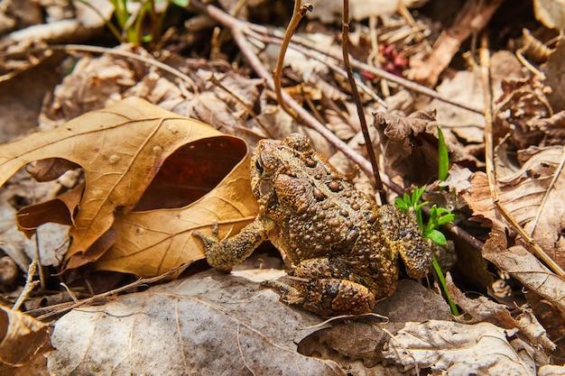 Imagem de detalhe de sapo de manchas traseiras cercadas por folhas de outono