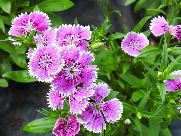 Imagem de doce dianthus rosa flor e folha verde