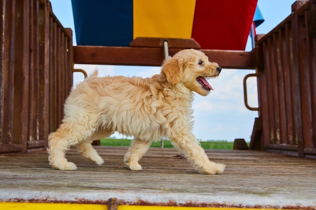 Imagem de filhote de cachorro golden retriever no parquinho