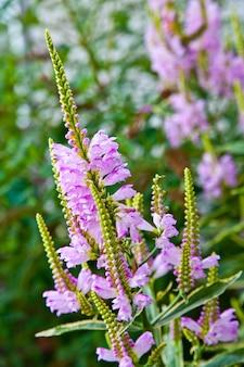 Imagem de flores roxas desabrochando com flores longas que ainda não abriram na primavera