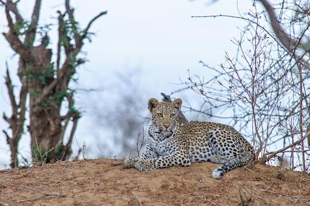 Imagem de foco raso de um leopardo descansando no chão