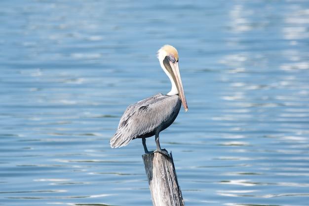 Imagem de foco raso de um pelicano de pé em um pedaço de madeira de frente para o mar