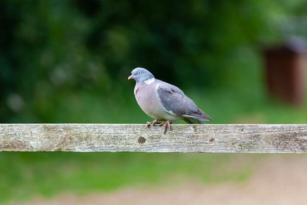 Imagem de foco raso de um pombo empoleirado em uma vara de madeira