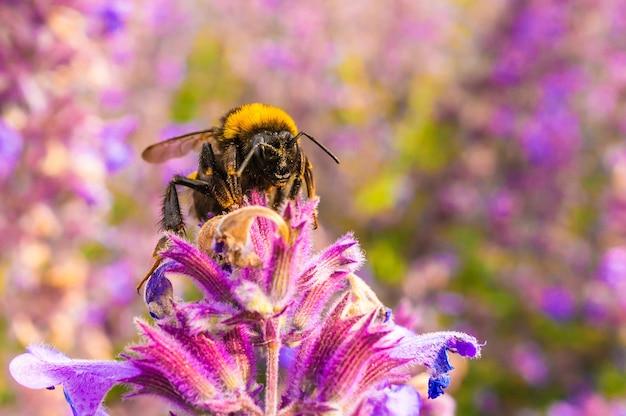 Imagem de foco raso de uma abelha colhendo mel de lavanda inglesa