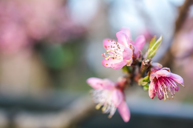 Imagem de foco seletivo de belas flores de cerejeira em um jardim capturada em um dia ensolarado