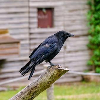 Imagem de foco superficial de um corvo em pé em um galho de madeira com um fundo desfocado