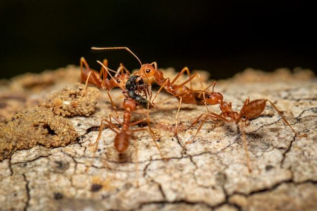 Imagem de formiga vermelha (oecophylla smaragdina) na árvore. inseto. animal.