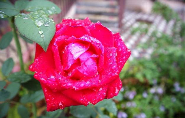 Imagem de foto de close-up de uma linda rosa delicada de cor vermelha com gotas de chuva nas pétalas e folhas verdes em um jardim de rosas florescendo na primavera ou verão ao ar livre.