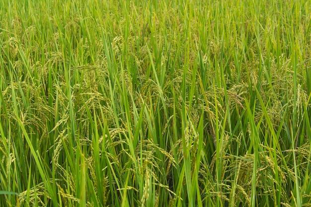 Imagem de fundo de campo de arroz verde
