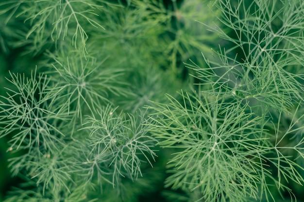 Imagem de fundo parcialmente desfocada de ramos verdes de endro crescendo na horta. vista superior, copie o espaço