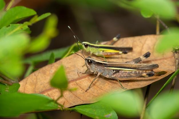 Imagem de gafanhoto gafanhoto com pontas brancas da cana-de-açúcar. inseto, animal.
