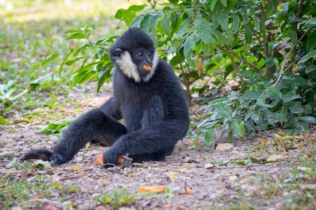 Imagem de gibão preto (gibão de bochecha branca) comendo comida no fundo da natureza. animais selvagens.