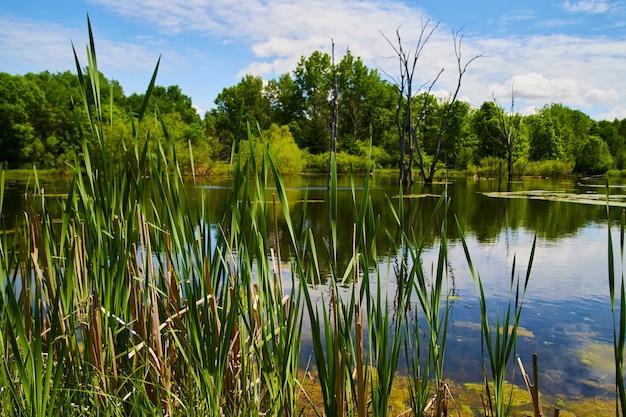 Imagem de juncos em detalhes de lago pantanoso com uma floresta verdejante ao fundo