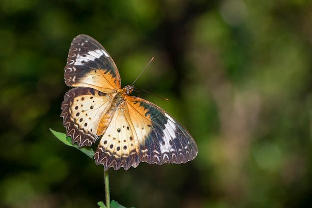 Imagem de leopardo lacewing borboleta (fêmea)., inseto. animal.