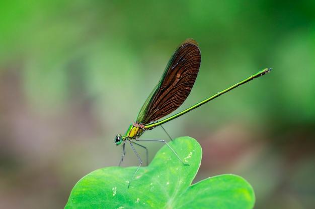 Imagem de libélula bonita em uma folha verde