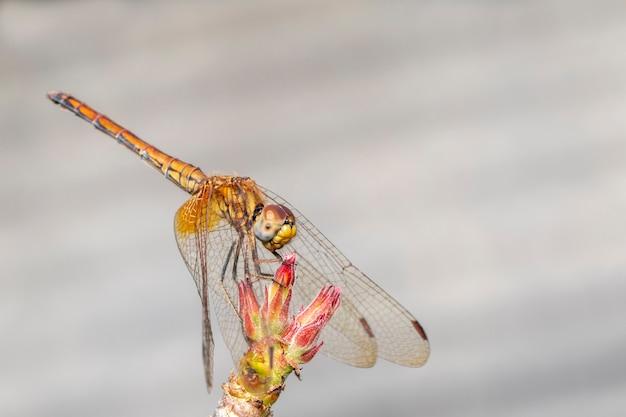 Imagem de libélula laranja na natureza.