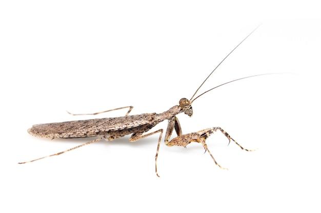 Imagem de mantis casca camuflada em fundo branco. inseto. animal.
