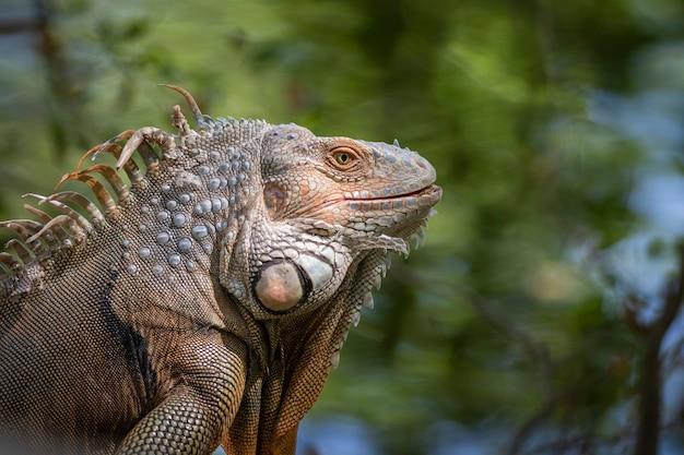 Imagem de metamorfose de iguana verde em um fundo natural. animal. répteis