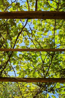 Imagem de olhando para cima através de uma treliça com videiras verdes