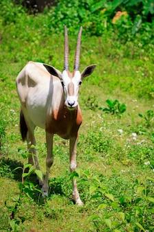 Imagem de oryx com chifres da cimitarra (oryx dammah) está comendo grama na natureza. animais selvagens.