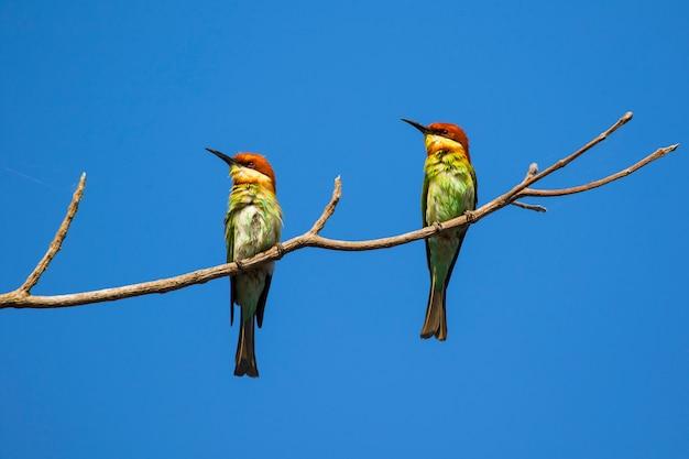 Imagem de pássaro no galho. animais selvagens. abelharuco-de-cabeça-castanha (merops leschenaulti)