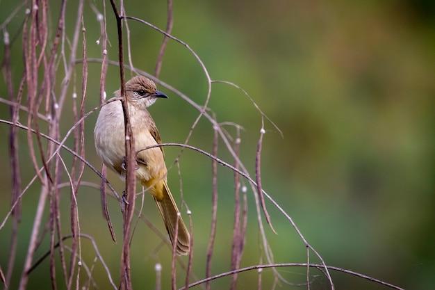 Imagem de pássaros bulbul com listras na natureza. (pycnonotus blanfordi)