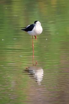 Imagem de pernilongo (himantopus himantopus) no pântano no fundo da natureza. pássaro. animais. Foto Premium