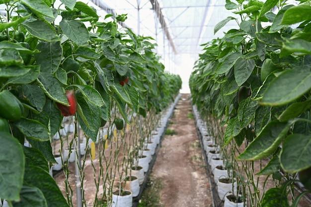Imagem de plantações de pimentão crescendo em uma estufa industrial.