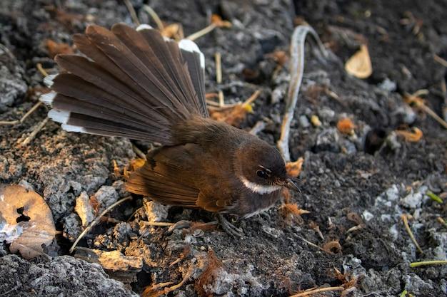 Imagem de sunda pied fantail ou malásia pied fantail (rhipidura javanica) no chão. pássaro. animais.