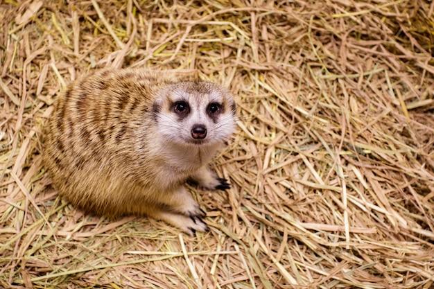 Imagem de suricata (suricata suricatta). animais selvagens.