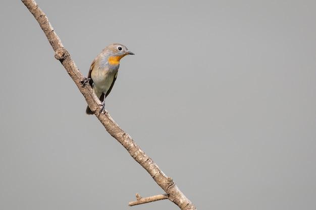 Imagem de taiga flycatcher ou red-throated flycatcher bird (ficedula albicilla) em um galho de árvore no fundo da natureza. pássaros. animal.