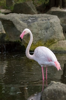 Imagem de um flamingo na natureza em tailândia. animais selvagens.