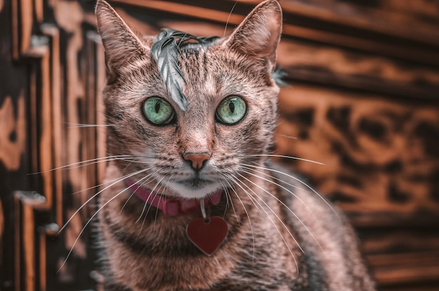 Imagem de um gato de bengala de raça pura em uma coleira rosa com medalhão. o gatinho brinca com uma pena. o conceito de carinho e amor pelos animais de estimação. mídia mista