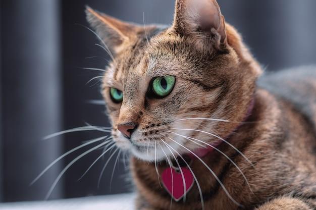 Imagem de um gato de bengala puro-sangue brincalhão em uma coleira rosa. o conceito de carinho e amor pelos animais de estimação. mídia mista